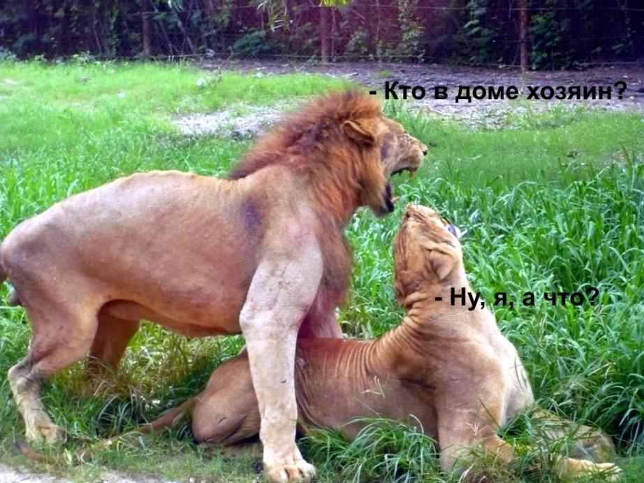 Секс фото львов