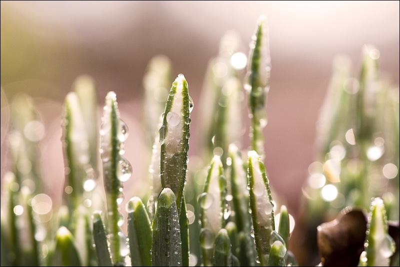 Белесоватой дымкой лес Стоит в пуховом одеянии - Лазурью синева небес В весенне - сказочном сиянии.  Первый подснежник.
