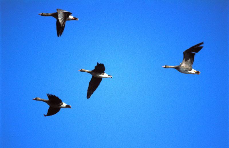 Сезонные перелеты птиц.  Перелеты возникают в связи с тем, что в зимний период птицы не могут