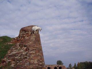 Бесстрашный козел