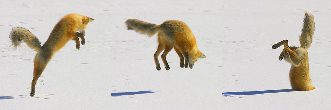 ловить лису