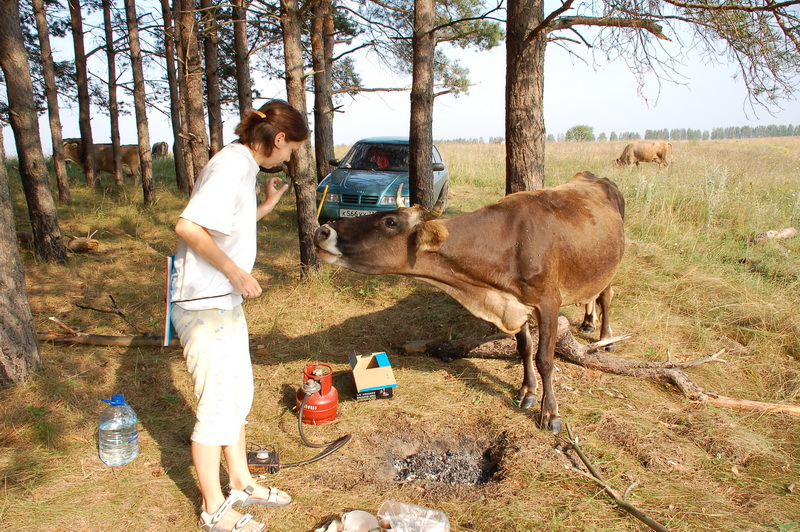 Корова-попрошайка