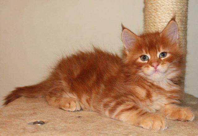 котята рыжие мейн кун фото