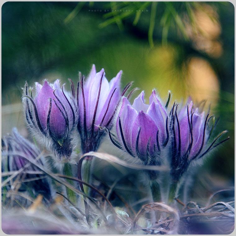 Это для вас - мои читатели: первые весенние цветы - робкие