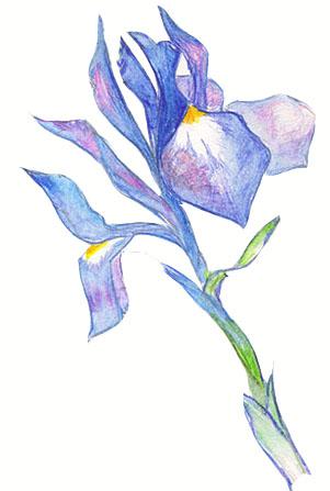 цветок ириса, рисунок
