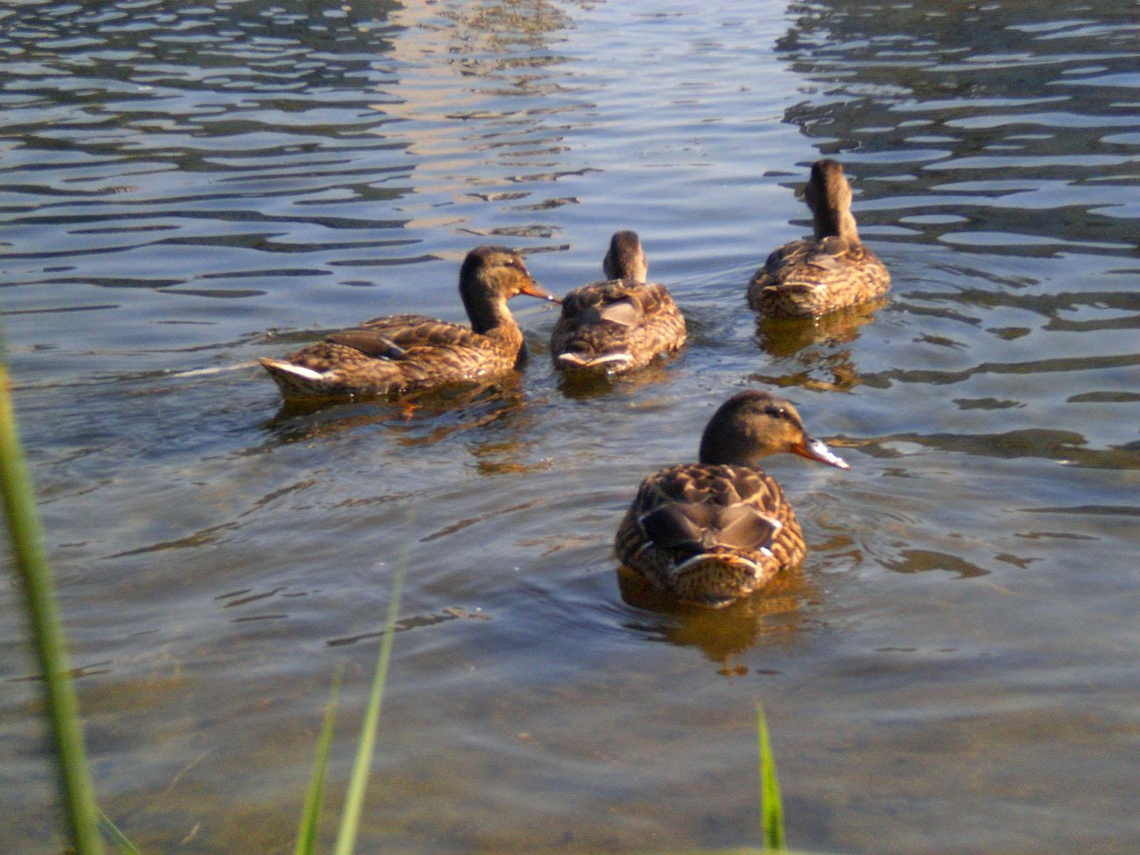 """Результат пошуку зображень за запитом """"качки на озері"""""""