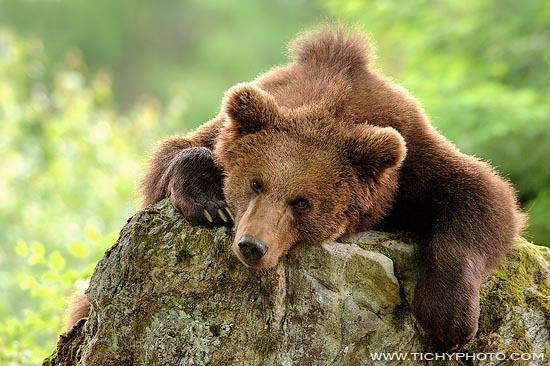 Медведь тату фото - Искусство татуажа.
