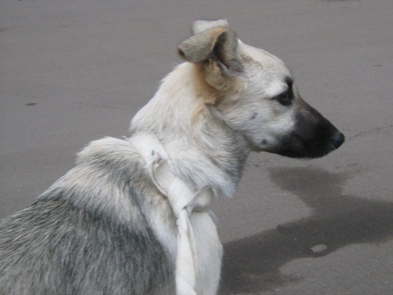 Милый щенок (помесь овчарки и лайки) прибежал на дачу и не захотел...