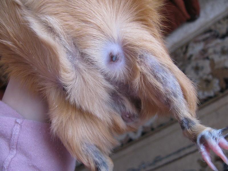 У морской свинки выпадают волосы