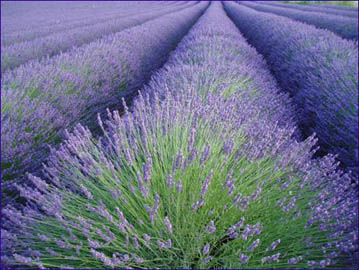 http://www.ljplus.ru/img4/p/e/perfect_purity/lavanda2.jpg
