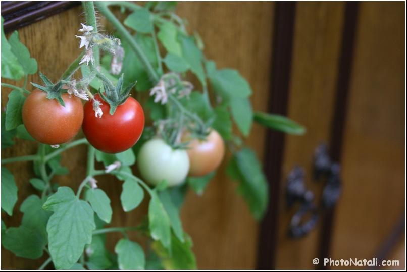 "13. декоративный томат ""балкони ред f1"" - фотожурнал натали."