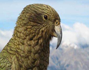 В Новой Зеландии попугай породы кеа похитил паспорт шотландского туриста.