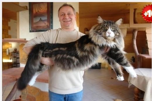 коты мейн кун ловят ли они мышей образом, функциональное