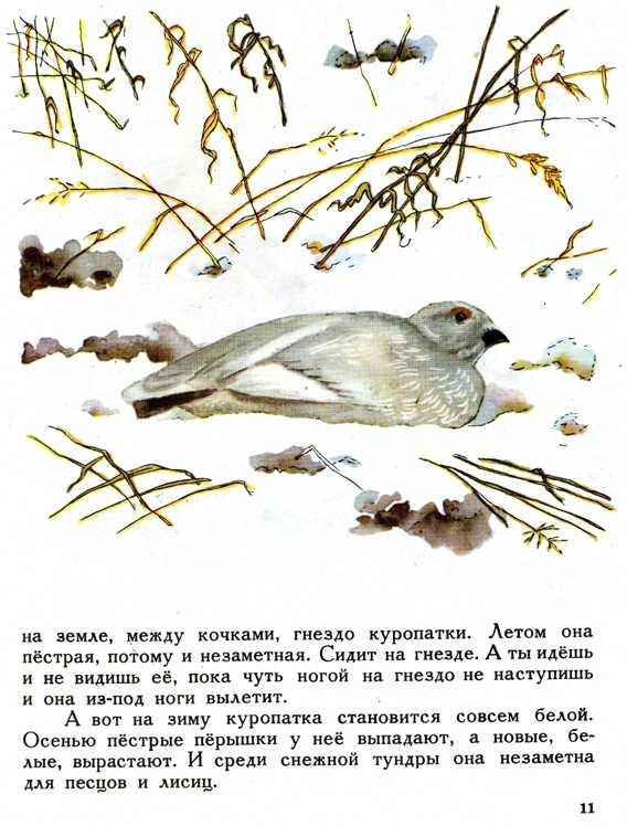 белая куропатка ловля