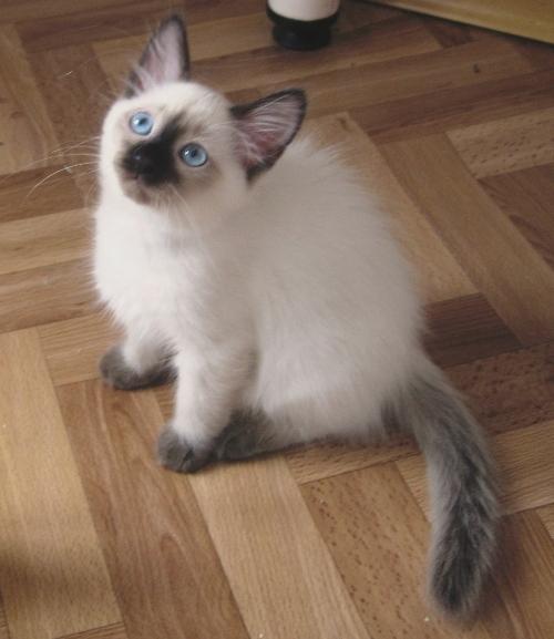 Тайский балинез - котенок!