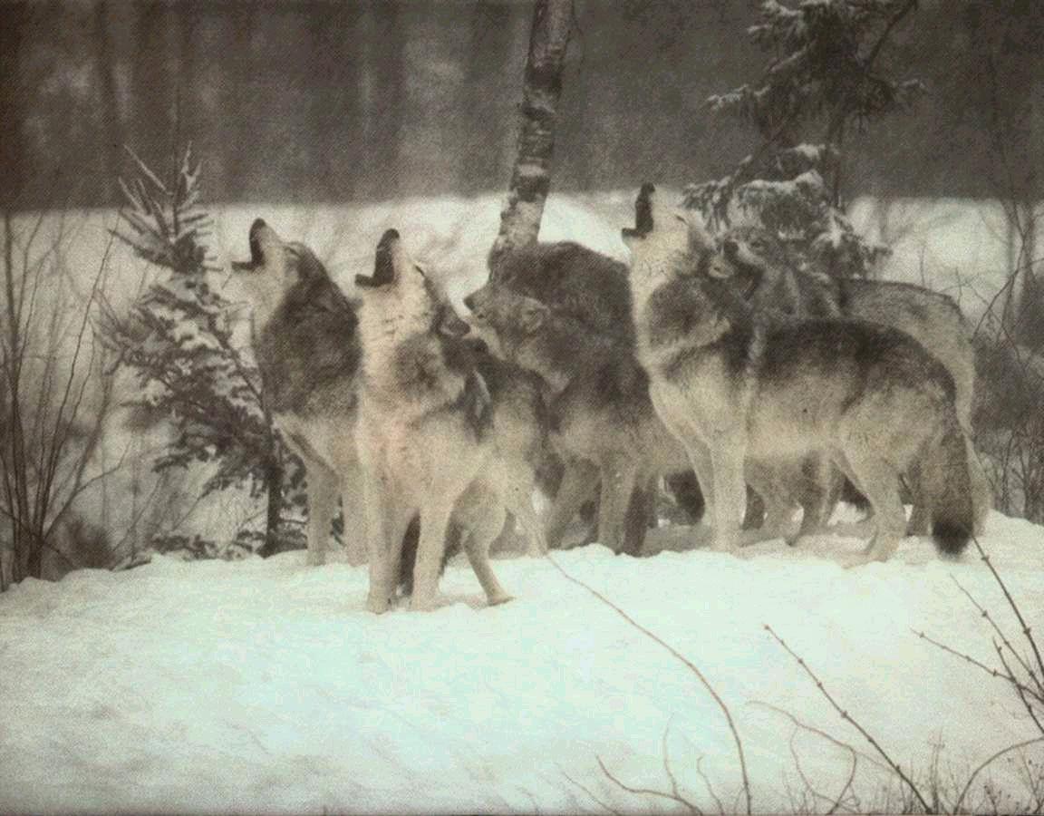 ...Совершая свой последний вздох, Волк тихо так скулит.
