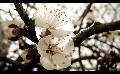 [Изображение: cvety-abrikosa.jpg]