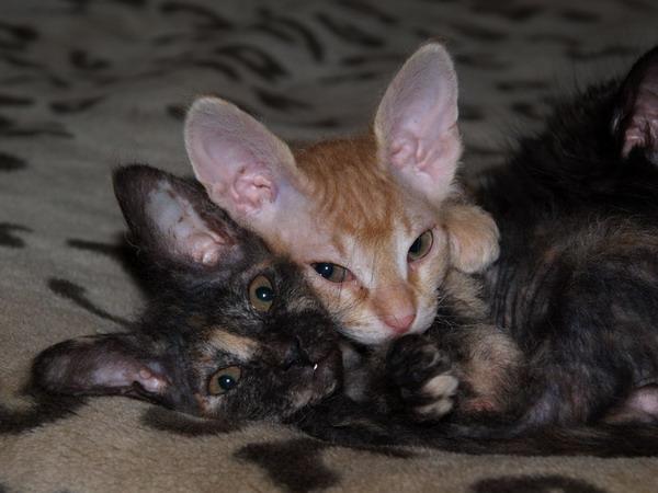 Двое котят донского сфинкса, чистопородные, но без документов.