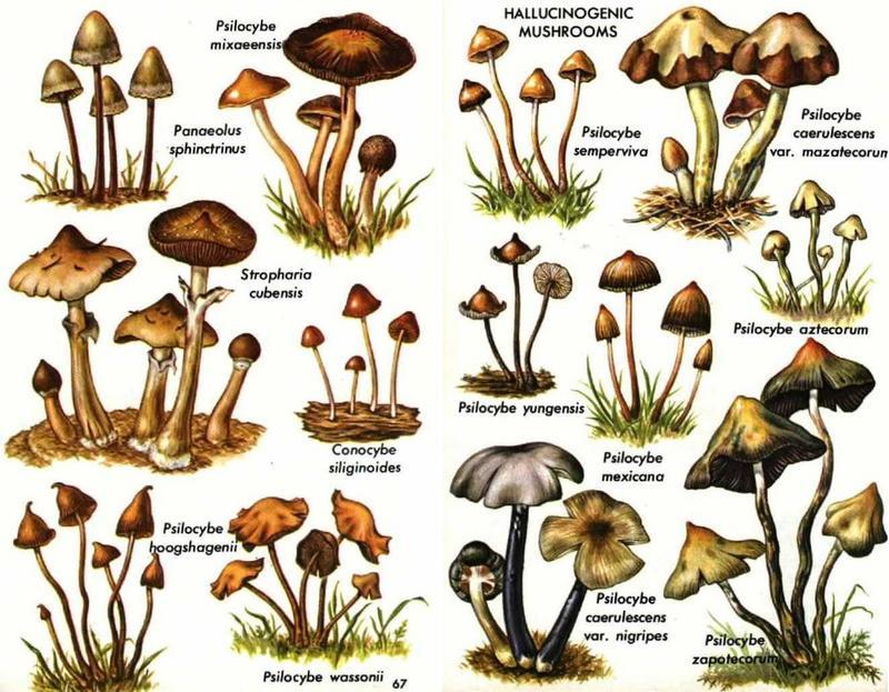Псилоцибиновый гриб выращивание в домашних условиях книга