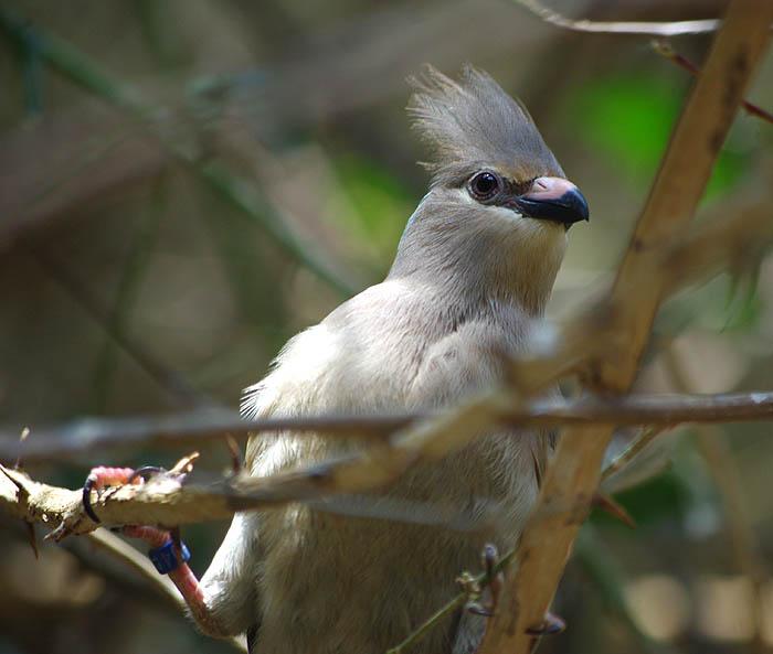 Синешапочная птица-мышь