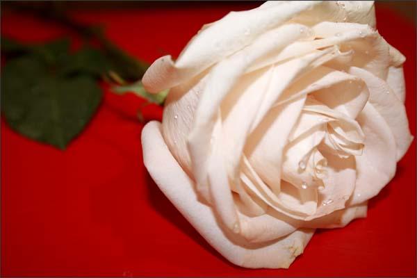 Посадка и уход за розами. О чём нужно помнить