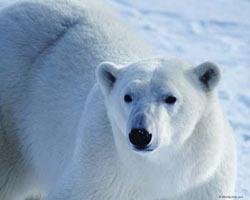 Белый медведь, как меня некоторые называют