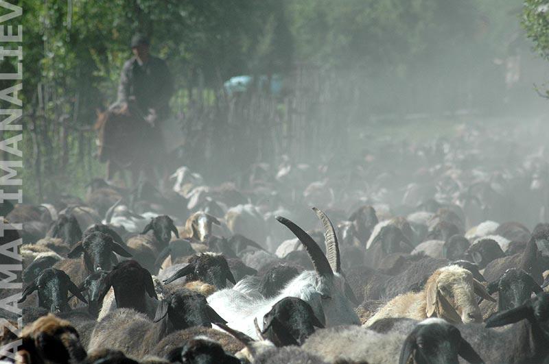 Отара коз и овец в селе Карасуу