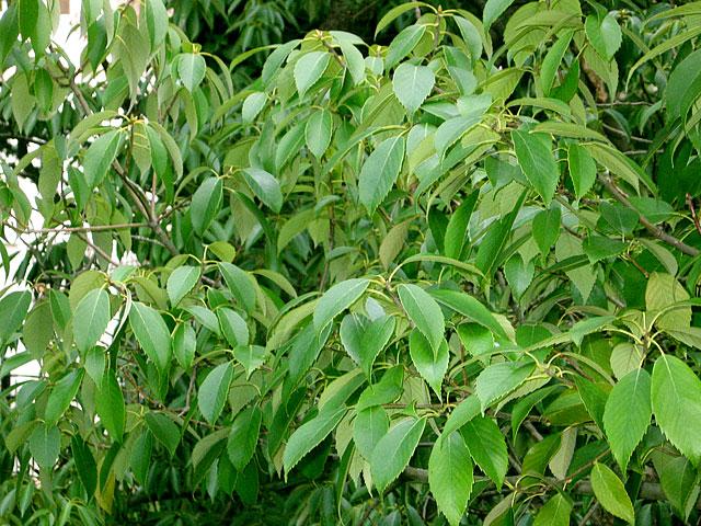 Зеленые листочки в зимнем Сочи