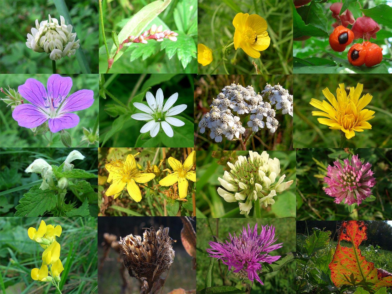 полевые цветы с названиями фото