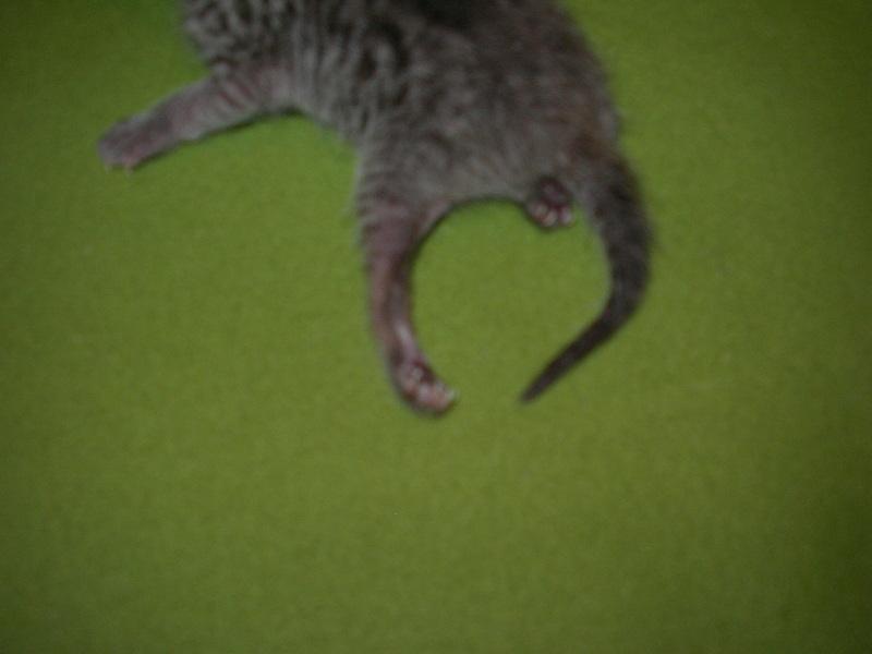 Шотландский котенок косолапит задними лапами