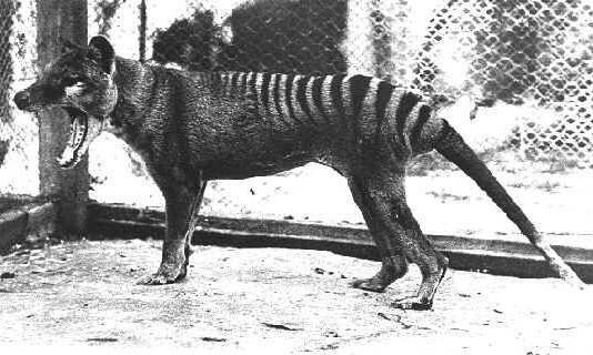 Картинки по запросу Тилацин, сумчатый волк фото