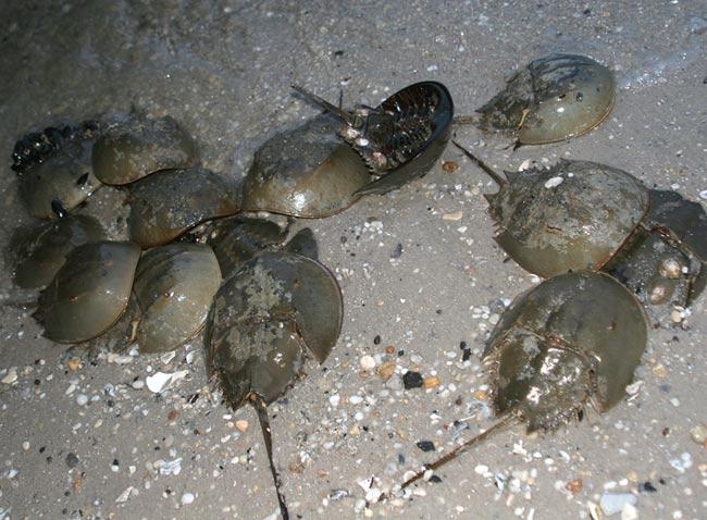 Limulus polyphemus, Pierce's Point, NJ may 2007