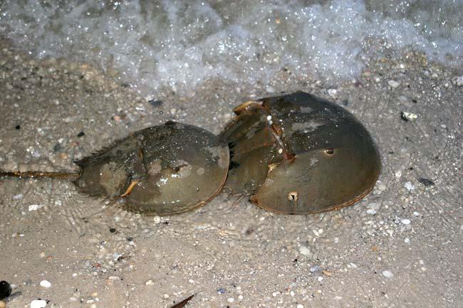 http://www.ljplus.ru/img3/p/u/pulya_9mm/Horseshoe-crab3.jpg