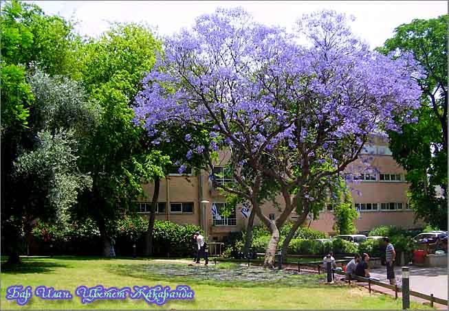 Жакаранда в парке университета Бар Илан. Фото – Авишай Тайнер