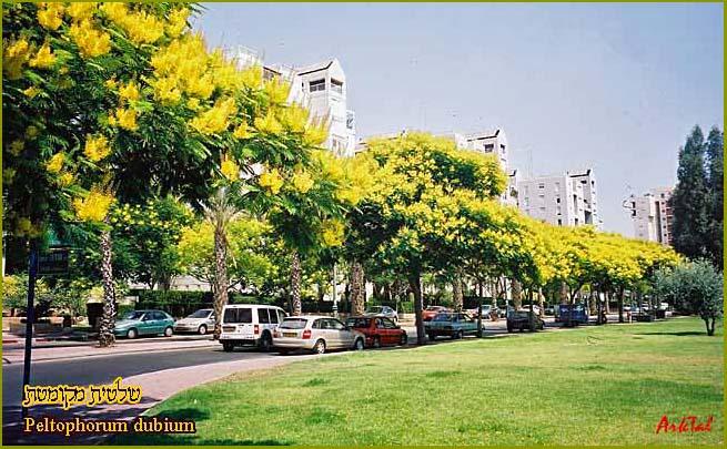 Шалтит мекуметет в Иегуде (Кирьят Савьоним), 2003, деревьям 5-6 лет