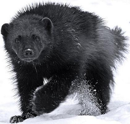 Крутой фото волк