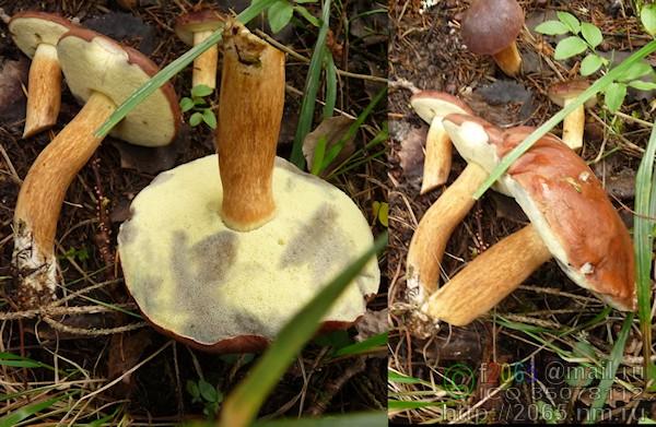 подореховик гриб фото