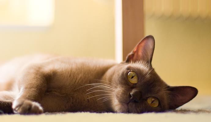 бурманская кошка, бурма