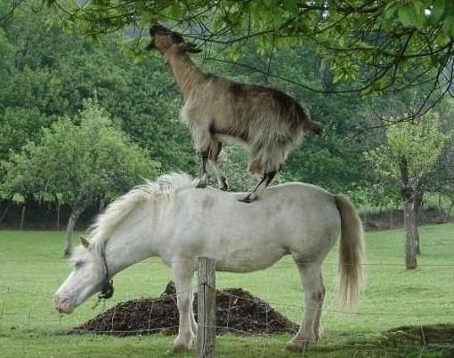 Козёл на белом коне
