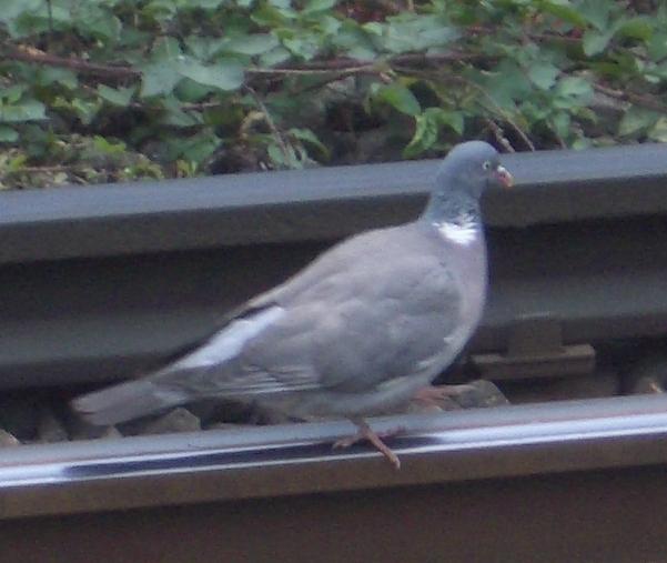 London Dove