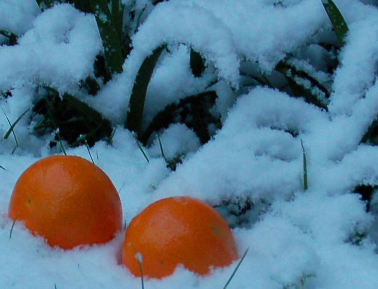 Яблоки на снегу... т.е. апельсины...