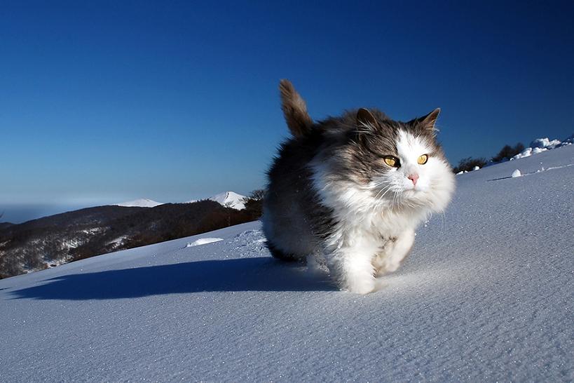 нордсколький кот хмуро гуляет по снегу