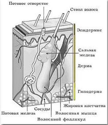 Анатомия волос