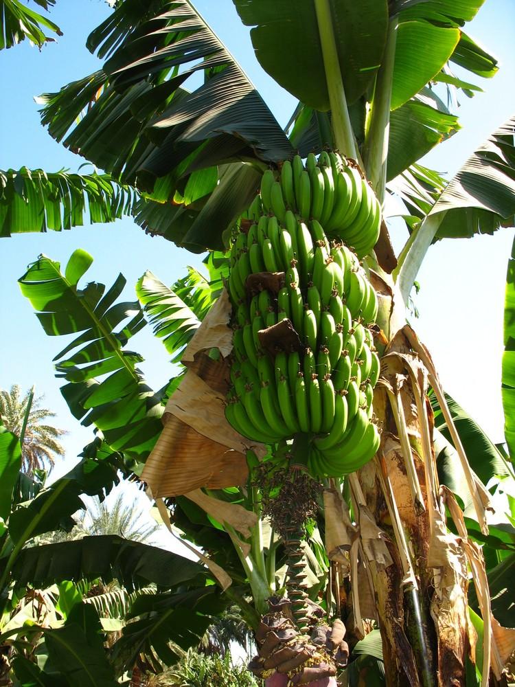 ценнее немногие бананы в природе фото скрывать
