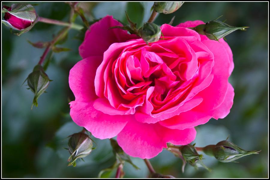 Розы в Мтацминде