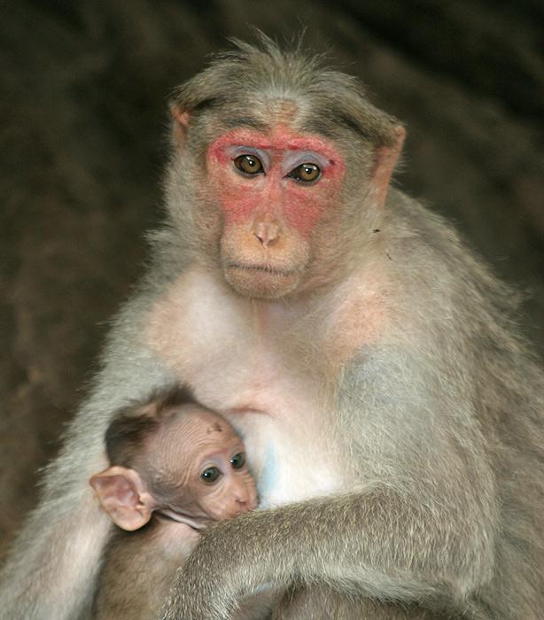 Macaca radiata, Western Ghats, India
