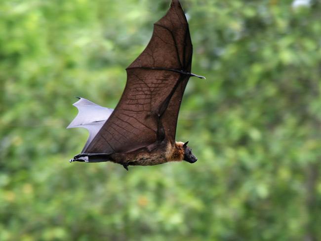 Sri Lanka, Colony of Pteropus giganteus near Veyangoda
