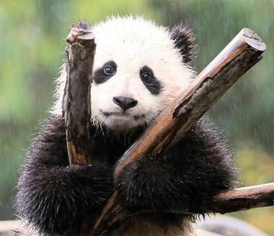 Вы знаете, что я очень люблю панд?